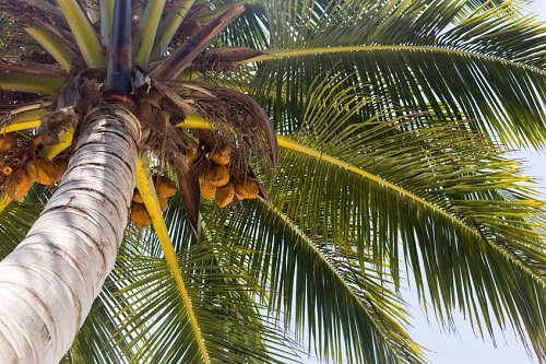 Gifts of the Coconut Tree